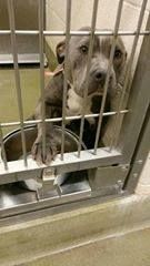 """* ON SHELTER """"AT RISK"""" LIST - NEEDS RESCUE COMMITMENT BY EOB MONDAY JUNE 9TH * NO WORDS NEEDED. THIS FACE SAYS IT ALL! PLEASE HELP! ID#A435476 (Moreno Valley, CA). Female Pitbull mix, 1.5 yrs old. https://www.facebook.com/photo.php?fbid=10202171998043826&set=o.182831315099355&type=1&theater"""