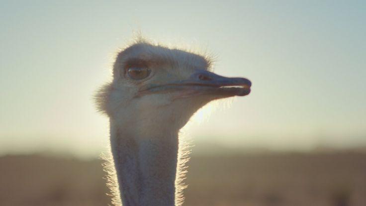 Samsung Official TVC: Ostrich