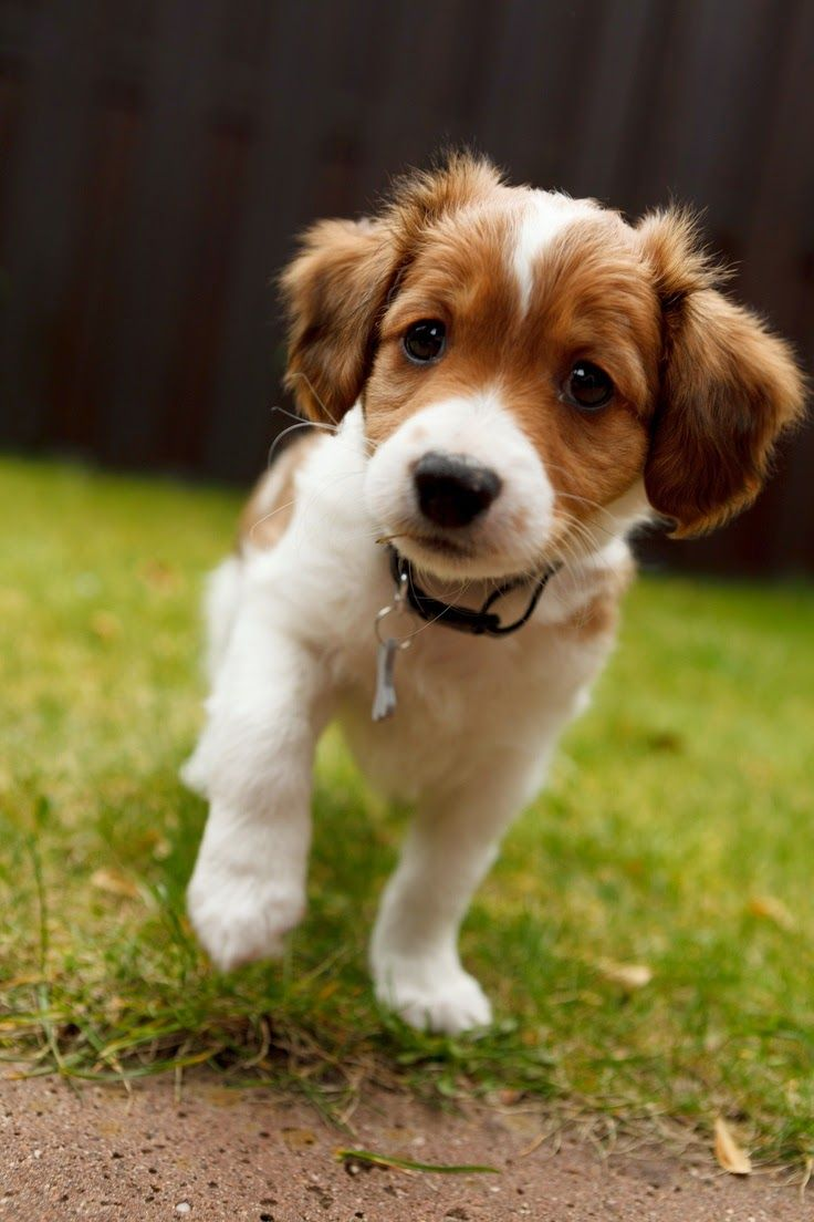 The Kooikerhondje is a small spaniel-type breed of dog of Dutch ancestry that was originally used as a working dog, particularly in an eendenkooi (duck trap) to lure ducks.