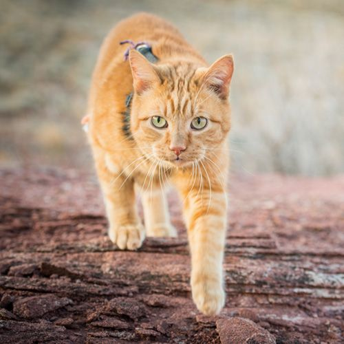 This adventure cat leads his human across challenging terrain and camps out under the stars—expedition style. Follow their story through a desert canyon.
