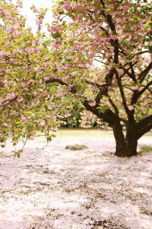 Cherry tree, a tree everyone should have in theire garden, well if