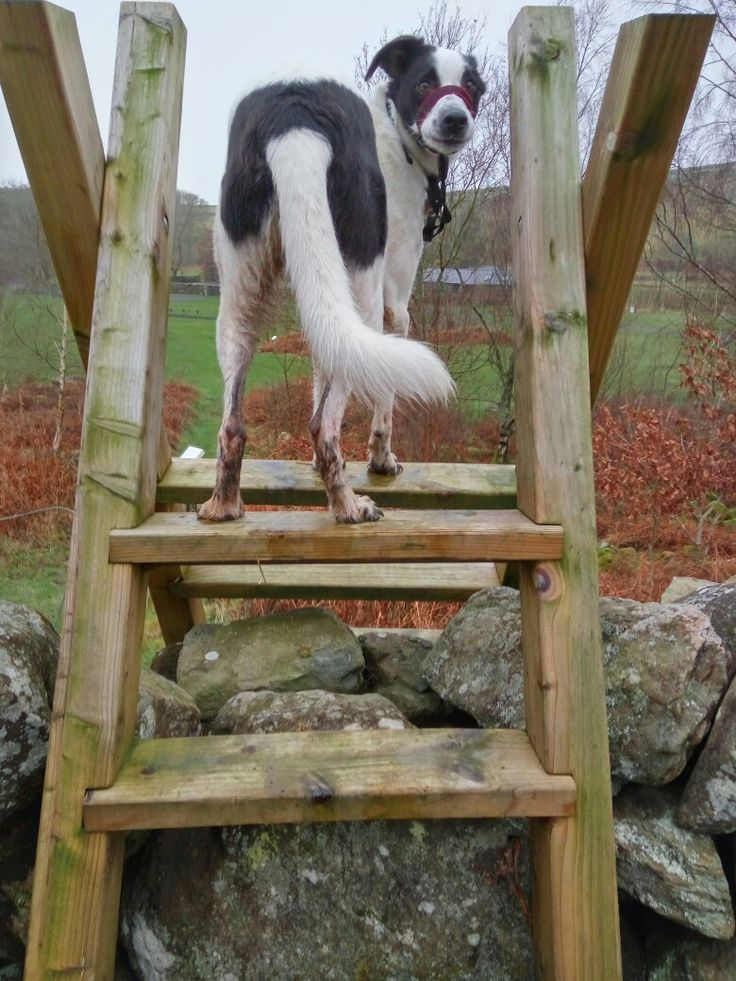 Pip dealing with a welsh stile