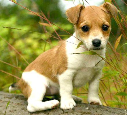 Resultados de la Búsqueda de imágenes de Google de http://www.white-summit.com/imagenes/fotos-jack-russell/fotos-de-perros-de-raza-jack-russell-01z.jpg