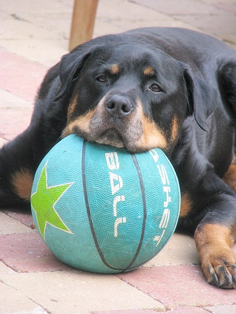 671 best Rottweiler pictures images on Pinterest Rottweilers