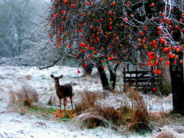 A deer in a snowy field next to a tree with red berries. photo by Jan Tik