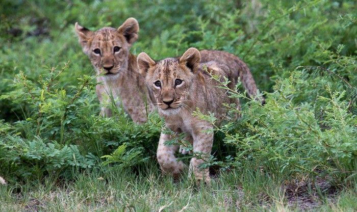 Jamala female had babies!! 3 Lion Cubs Photo Credit: Gavin Tonkinson
