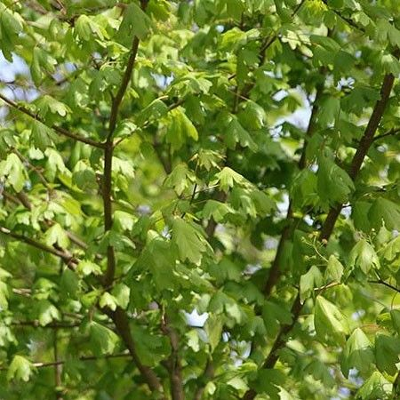 érable champêtre Acer campestre