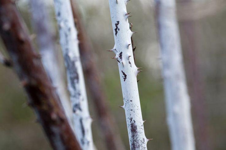 Rubus stems in winter