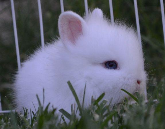 Blue eyed white (BEW) baby Lionhead bunny ...