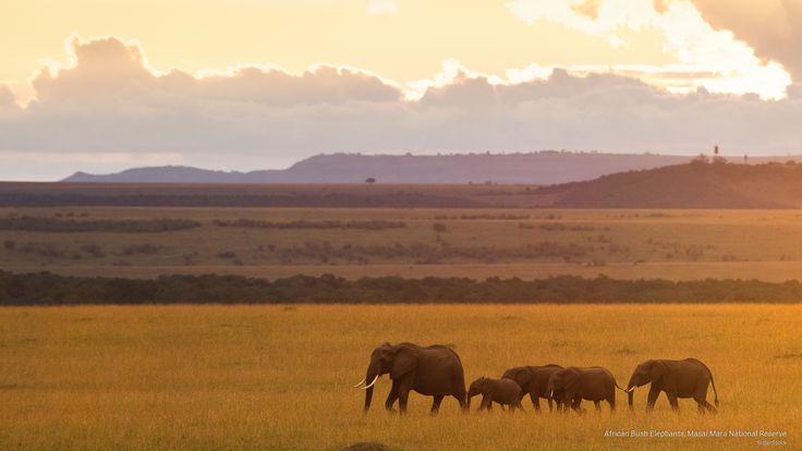 African Bush Elephants, Masai Mara National Reserve