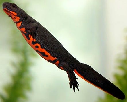 Chinese Fire Belly Newt almost grown up.