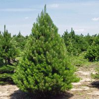 Austrian Pine Trees | Buy Online at Nature Hills Nursery