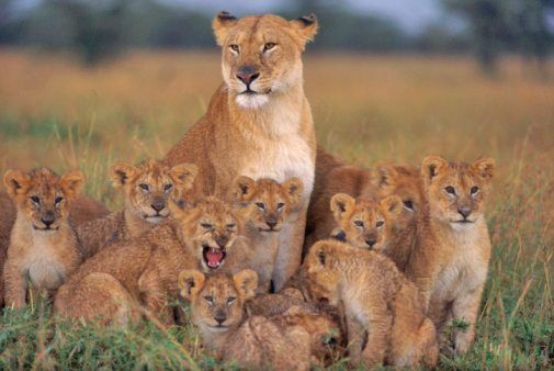10 roarsome lion facts! | National Geographic Kids #BigCatFamily