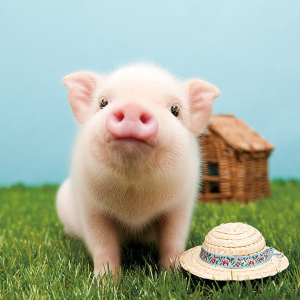 67 Best The Pig Images On Pinterest Mini Pigs Mini