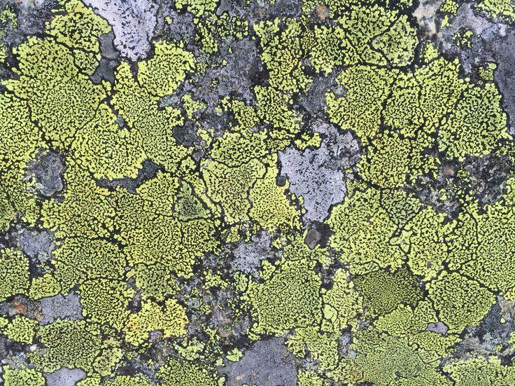 Lav Lichen
