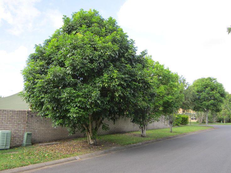 Harpullia Pendula Australian Native Tree Excellent Shade