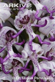 Orchis simia - Monkey-orchid flowers up-close
