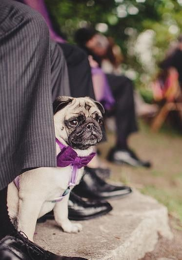 Don't forget to dress up the best little man! #puglove #wedding
