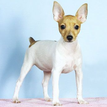 ... Rat Terrier Dogs on Pinterest | Puppys, Terrier puppies and Shelters Smooth Fox Terrier South Africa