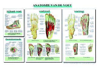 Poster Voet (anatomie) 40 x 60 cm | Webwinkel - Lopharm | Sport Medische en Pedicure Groothandel | Lopharm