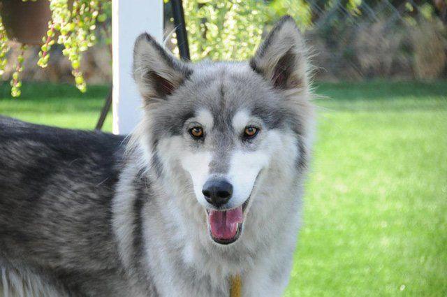 Alaskan Malamute Wolf Mix   Dogs   Pinterest  Husky Malamute Wolf Mix