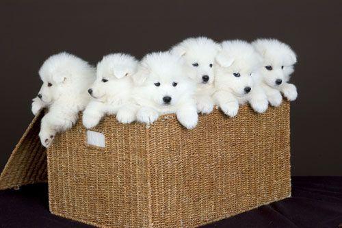 Polar Bear Dogs, aka Siberian Samoyed Dogs •