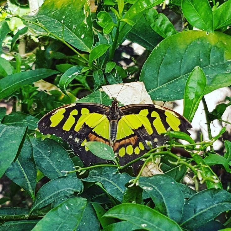 Camouflaged #butterfly. #nature #green #mariposa #verde #oceanografic #Valencia #Spain #españa