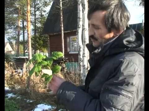 Обрезка кустов черной смородины осенью - YouTube