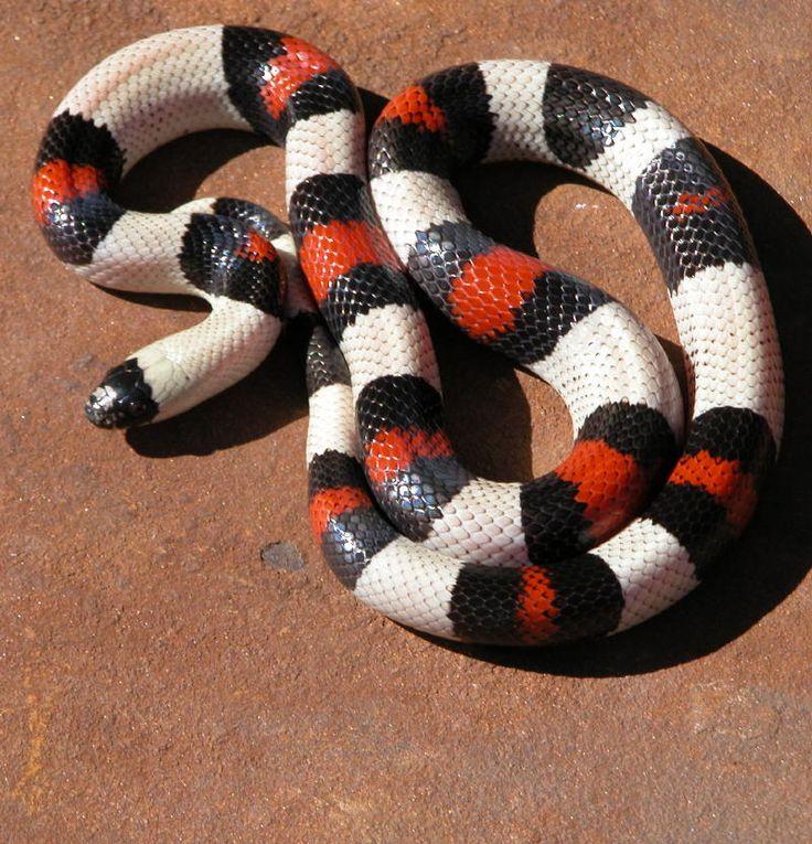 Pictures of Pueblan Milk Snake Full Grown - #rock-cafe