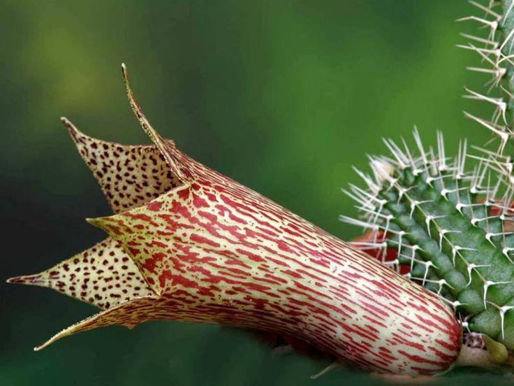 Tavaresia barklyi (Thimble Flower, Devil's Trumpet)