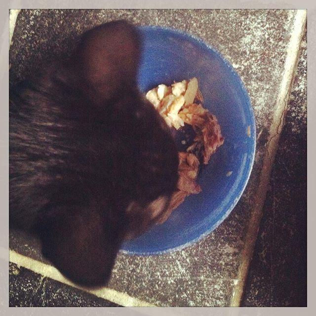 """@onzesuus's photo: """"Dat is smullen.  #kitten #kater #kip #eten #eerstekeer"""""""