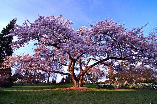 vancouver canada   Cherry Blossom, Queen Elizabeth Park, Vancouver, Canada.