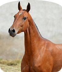 Гасыр - Конный завод Dacor
