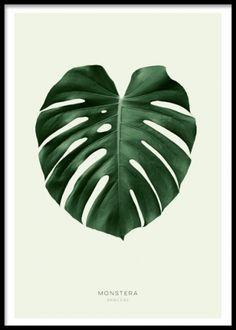 Green Monstera, poster. En stilren poster med ett vackert grönt monstera blad. De sobra färgerna gör motivet lättmatchat till många typer av interiör och fungerar fint med både den klassiska och moderna stilen. I vår kategori Botaniskt hittar du fler motiv med foton och illustrationer på växter, blommor och örter.