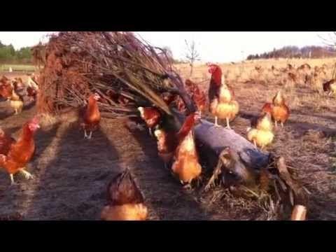 #happyeggs The Happy Egg Co - A happy egg hen's eye-view
