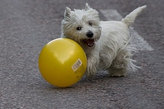 #furkids  #westie  #yellow: Furkid Westies, Fur Kids