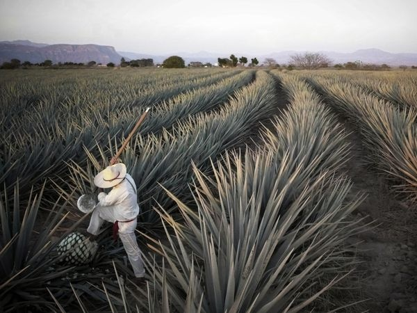 Agave plants in Mexico.