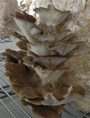 Farm scale oyster mushroom cultivation in a climate controlled outbuilding.