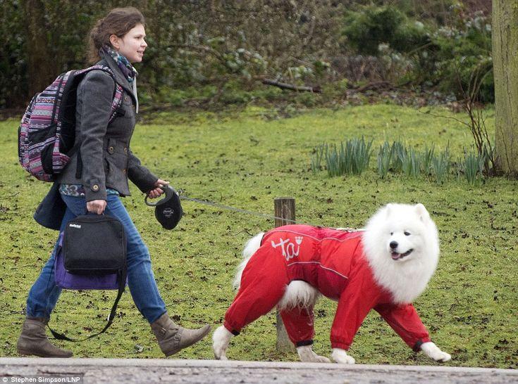 Znalezione obrazy dla zapytania samoyed raincoat