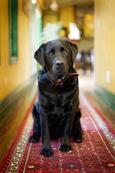Black Labrador. handsomedogs