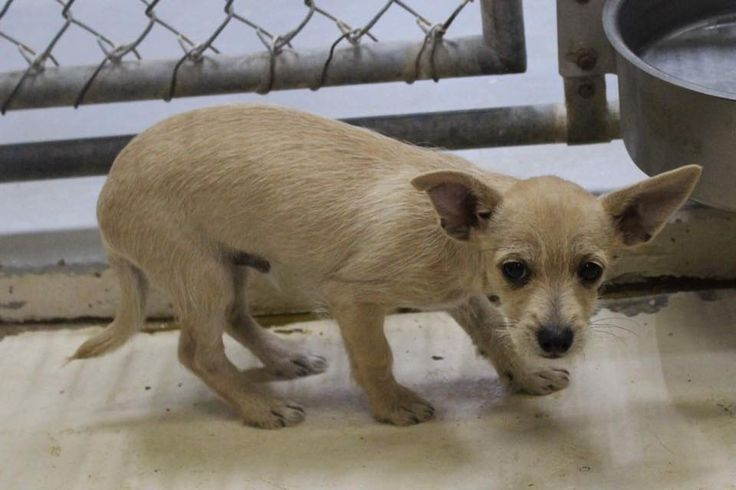 11/29/16-ODESSA, TX - SUPER URGENT - URGENT- OWNER SURRENDER  Benny is a male Chihuahua mix less than 4 months old He is so tiny. Smaller than the food bowl  Kennel A16 $35 to adopt  ADOPT/RESCUE/FOSTER   Located at Odessa, Texas Animal Control.