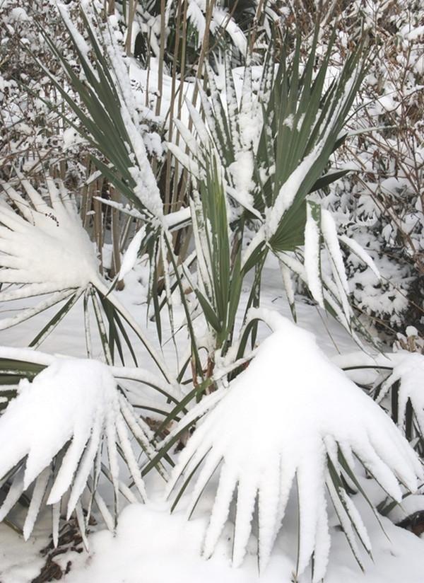 Sabal minor 'McCurtain' A Zone 6 cold-hardy small palm tree!