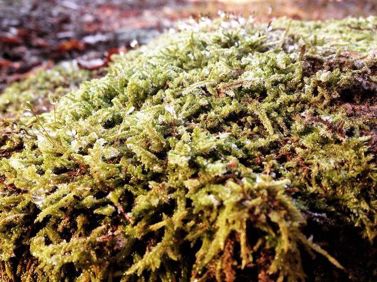 #winter #cold #naturelovers #forest #moss #naturelovers #withfriend #klubkocestuje Mech je úplně zmrzlý a krásně třpytivý!🍃🌿❄️💨