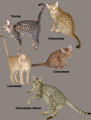 The Ocicat comes in 12 colors ; Tawny, Chocolate and Cinnamon, their dilutes; Blue, Lavender and Fawn, and all of them with Silver: Black Silver (Ebony Silver), Chocolate Silver, Cinnamon Silver, Blue Silver, Lavender Silver and Fawn Silver.