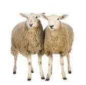 Sur le voyage à travers l'Afrique de Sud, les voyageurs ont perdu tous les moutons sauf deux (25)