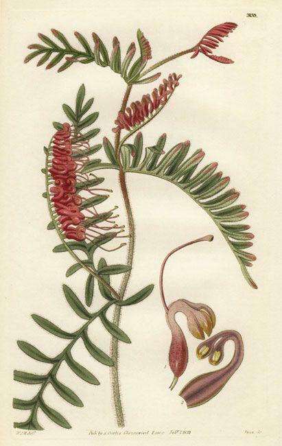 Grevillea caleyi - Caley's Grevillea