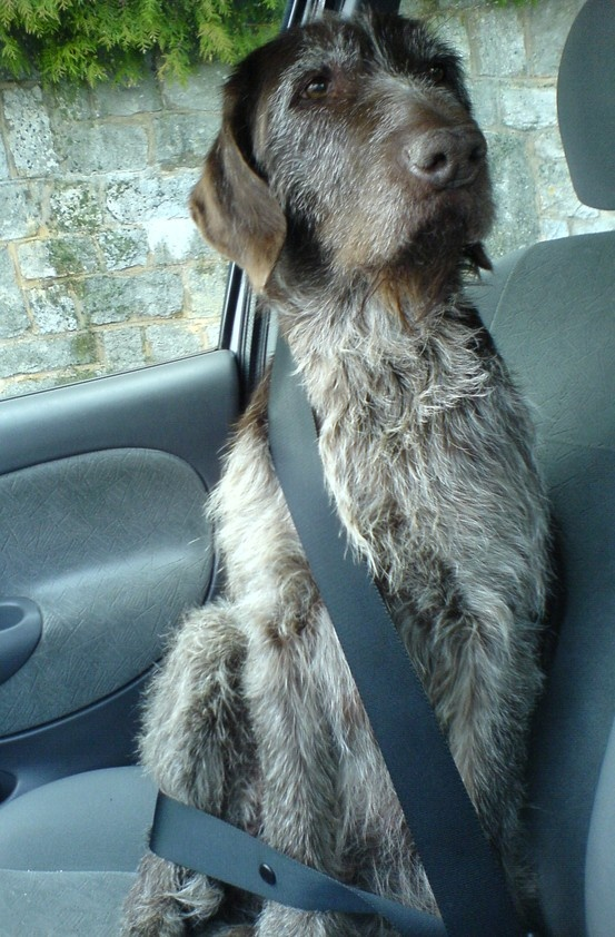 223 best wire hair Griffon images on Pinterest | Dogs, Hunting dogs ...