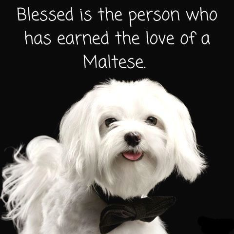 Blessed are those loved by Maltese.