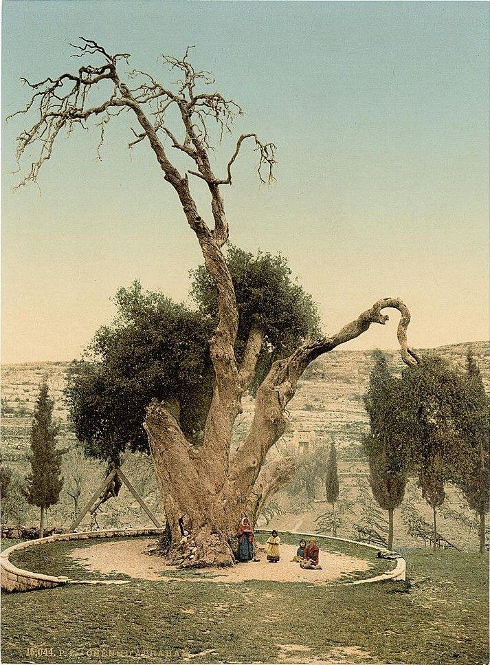 Abraham's Tree, Hebron (Hazreti İbrahim'in ağacı - El Halil).