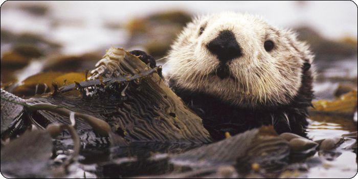 Vancouver Island Sea Otter